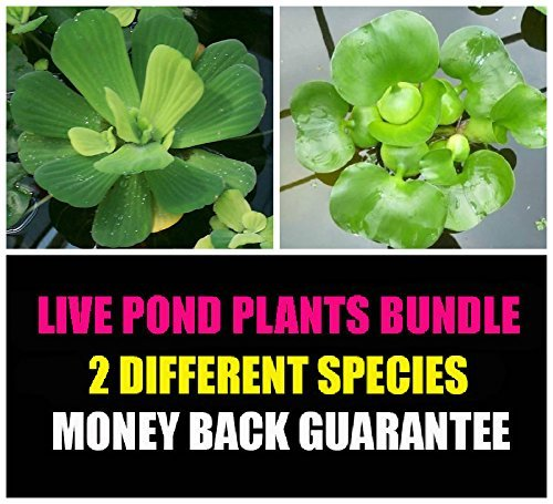 2 Floating Live Pond Plants - Watter Lettuce and Water Hyacinth by Aquarium Plants Discounts