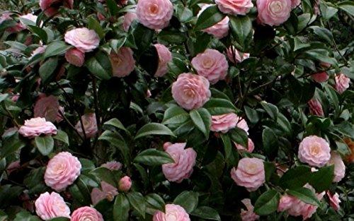 Pink Perfection Camellia Japonica - Live Plant - Quart Pot