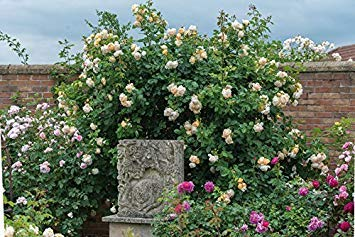 Hall Rose - WOLLERTON Old Hall - Bareroot David Austin Climbing and Shrub Garden Rose -Beautiful Large, Cream/Pale Apricot, Highly Fragrant Blooms