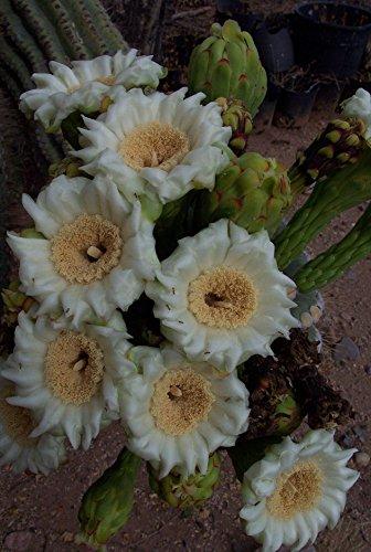 Saguaro Cactus (Giant Saguaro Cactus (Carnegiea gigantea) Seed Packet, 100 count)