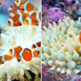 (海水魚) カクレクマノミ(2匹)+サンゴイソギンチャクセット 本州・四国限定[生体]