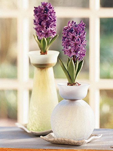 Amazon Woodstock Hyacinth Bulb Forcing Kit Clear Glass Vase
