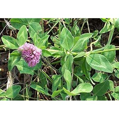 AchmadAnam - Seeds - 10 LBS RED Clover Food PLOT for Deer, Turkey, Wildlife, Coated Seed : Garden & Outdoor