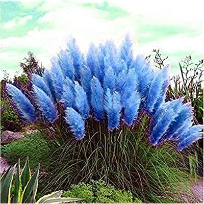 200pcs Pampas Grass Seeds Ornamental Plant Seeds Garden Yard Growing DIY Home Décor : Garden & Outdoor