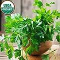 Dark Green Italian Parsley Seeds 500+ Non-GMO Seeds Organic Open-Pollinated High Yield Heirloom