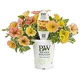 Supertunia Honey (Petunia) Live Plant, Orange and Yellow Flowers, 4.25 in. Grande, 4-pack