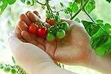 RDR Seeds 50 Tiny Tim Tomato Seeds - Patio