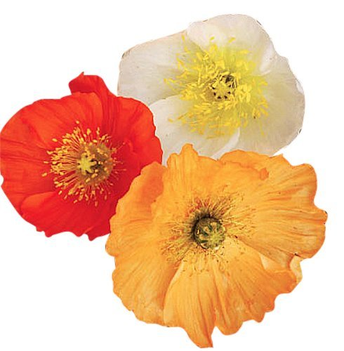 Iceland Poppies Seeds: Pink and Red Pastel Poppy Seeds - Non GMO and Neonicotinoid Seed