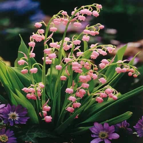 Caiuet Seeds- 40pcs Lilies of The Valley Seeds, Fragrant Rarities Lilies of The Valley Flower Bulbs Perennial Hardy Bellflower for Baron, Garden