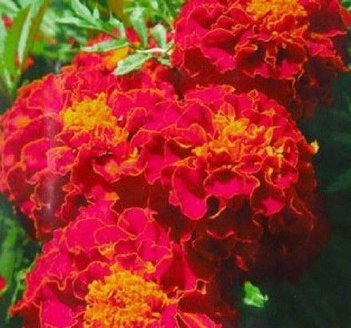 Fire Red French Marigold Annual Flower 50 Seeds Tagetes Garden Flower