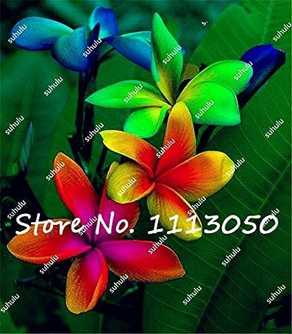 Frangipani, Hawaiian Lei Flower Rare Exotic Flower Seeds Egg Flower Seeds for Home Garden 100Pcs//Bag Plumeria Seeds