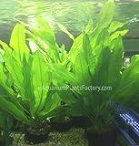 AquariumPlantsFactory - Ruffled Amazon Sword Potted (Echinodorus Martii...