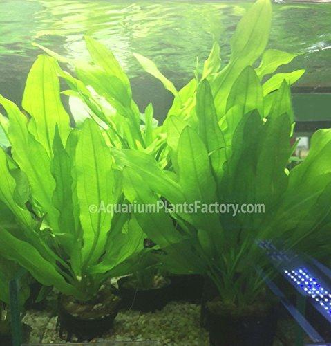 (AquariumPlantsFactory - Ruffled Amazon Sword Potted (Echinodorus Martii Major) - Freshwater Live Aquarium Plants)