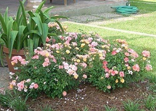 Peach Drift Groundcover Rose - Live Plant - 2 Gallon Pot