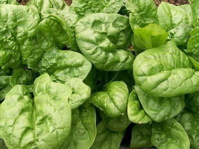 David's Garden Seeds Spinach Bloomsdale Long Standing D67102 (Green) 500 Organic Heirloom Seeds