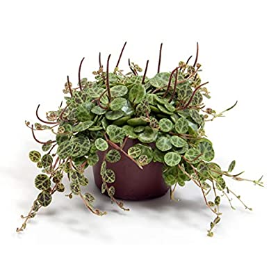 Rare Holy Cross Plant - Peperomia prostrata - 2