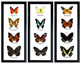 Set 3 x 4 Real Butterfly Display Taxidermy in Vertical Frame for Collectible Gift