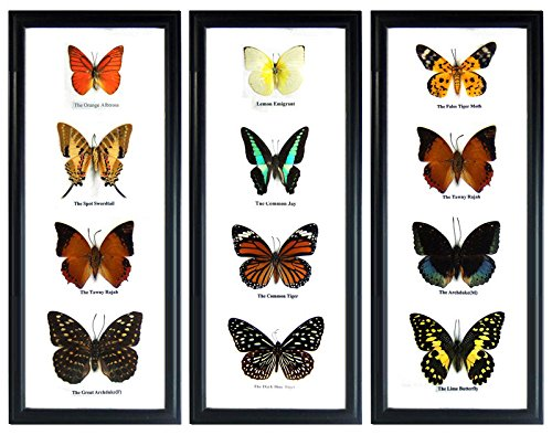 Thai Productz Set 3 x 4 Real Butterfly Display Taxidermy in Vertical Frame for Collectible Gift (Butterfly Frame)
