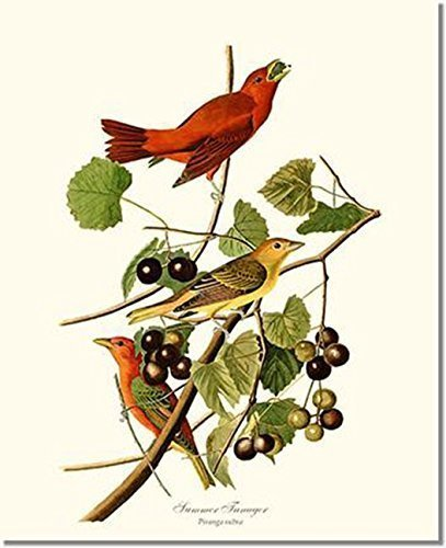 Bird Print - Summer Tanager (James Audubon) Vintage Art