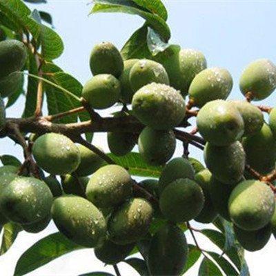 Herbal tea Sterculia Lychnophora good for protecting vocal health, the magic Pang Da Hai dried fruit 350 grams by JOHNLEEMUSHROOM RESELLER (Image #1)