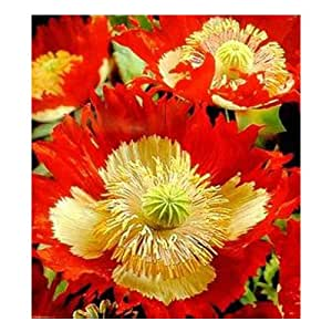 Delicate mix of red and yellow flower seeds petals poppy seeds pot bonsai home garden plants courtyard 200PCS