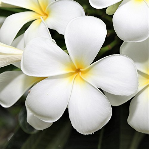 White Plumeria Plant - Not Just Cutting - Select Whites (Potted) - Fragrant 1 Rooted, Potted Plant - Stout 12