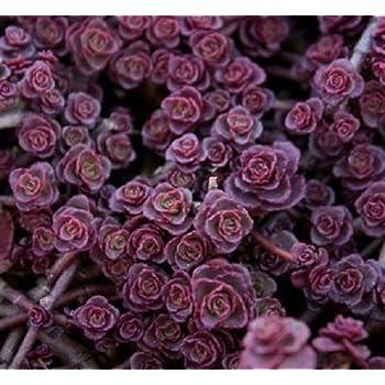 f2b635fc2ec1d Amazon.com : 200 GOLDEN CARPET SEDUM Acre Gold Moss Stonecrop Flower ...