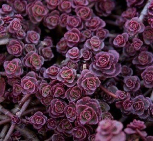100 Sedum Purple Carpet seeds Deep Rose Pink Flowering succulent - Carpet Flower Pink Rose