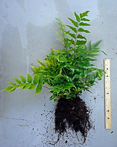 Japanese Holly Fern - Unique Fronds and Eye Catching. 1 Gallon Live Pant.
