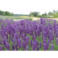 Findlavender - Hidcote Blue Lavender Plant - 4