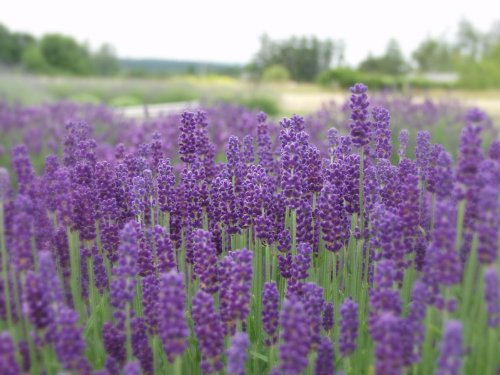 Findlavender - Lavender Angustifolia HIDCOTE BLUE (Dark Purple Flowers) - 4'' Size Pot - Zones 5-10 - Bee Friendly - Attract Butterfly - Evergreen Plant - 1 Live Plant by Findlavender