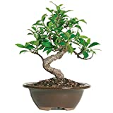 "Brussel's Bonsai Live Golden Gate Ficus Indoor Bonsai Tree - 4 Years Old; 5"" to 8"" Tall with with Decorative Container, Small,"