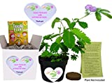 TickleMe Plant Fun Alternative to a THANK YOU Card. So Tickled With APPRECIATION Gift Box - Grow the House Plant that Closes Its leaves and lowers ts branches when you TICKLE it and everyone SMILES!