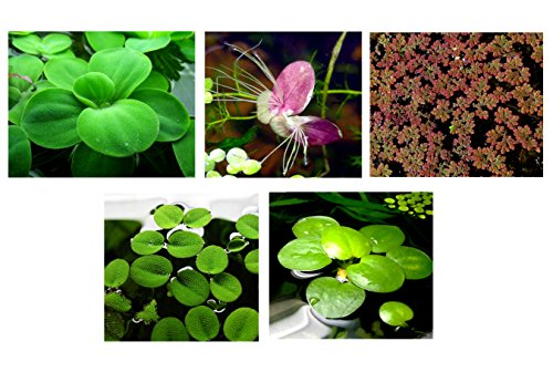 30 Surface/Floating Live Aquarium (Pond) Plants / 5 Different Kinds - Water Lettuce, Amazon Frogbit, Fairy Moss, Giant Duckweed, Water Spangles!