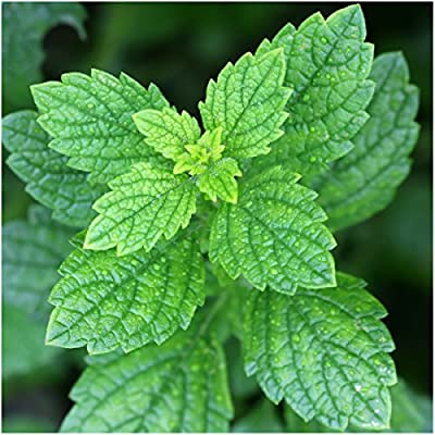 Package of 500 Seeds, Lemon Balm (Melissa Odorata) Non-GMO Seeds By Seed Needs