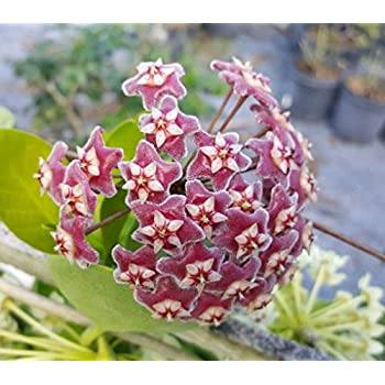 Hoya Australis Vine Wax Flower Live Plant~Vanilla Hoya 3 INCHES TALL USA SELLER
