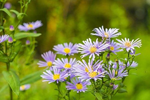 European Michaelmas-daisy - lavender blue, long-lasting flowers - ()