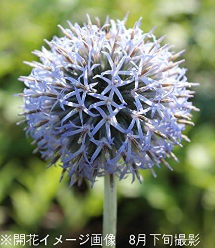 【紫桜館山の花屋】宿根草:エキノプス ルリタマアザミ 10.5cmポット苗