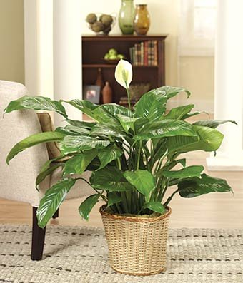 Tropical Bright - Same Day Indoor Plants Delivery - Best House Plants - Home Plants - Living Room Plants - Fresh Cut Flowers