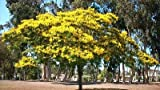 Peltophorum pterocarpum 10 SEEDS~Yellow Flamboyant~Flame Tree~Yellow Poinciana
