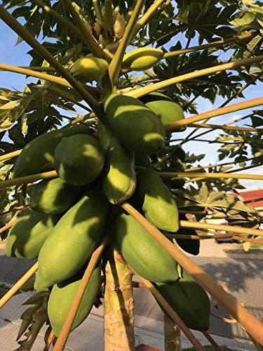 Amazon.com: 25/50/100 Taiwán Papaya semillas de árbol de ...