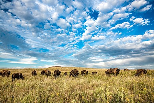 Bison Photography Wall Art Print - Picture of Herd of Buffalo Underneath Big Sky Western Home Decor 5x7 to - Osage Pictures