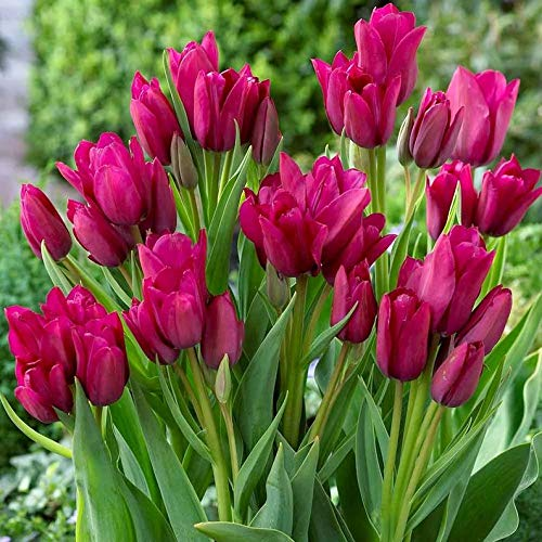 (Tulip Night Club, Multiple Flowers on a stem Usually 4-5 Blooms per Bulb.Bunch Flowering Tulips. Fall Planting Bulbs.Shipping Now ! (10 Bulbs))