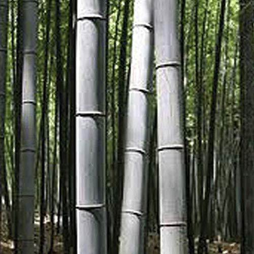 (50 Blue Grey Giant Bamboo Seeds Phyllostachys Nigra Henon USA Seller)