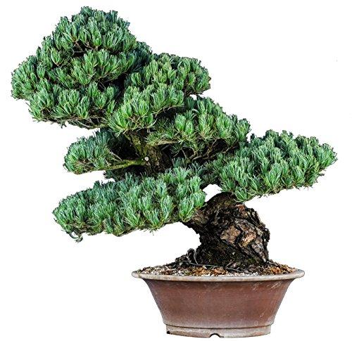 Bonsai Pine Tree White (Japanese White Pine Bonsai Tree 50-year 33.5'H)