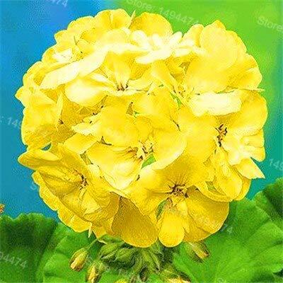 SVI frescas 200pcs semillas de flores para plantar geranios rojos blanco 1