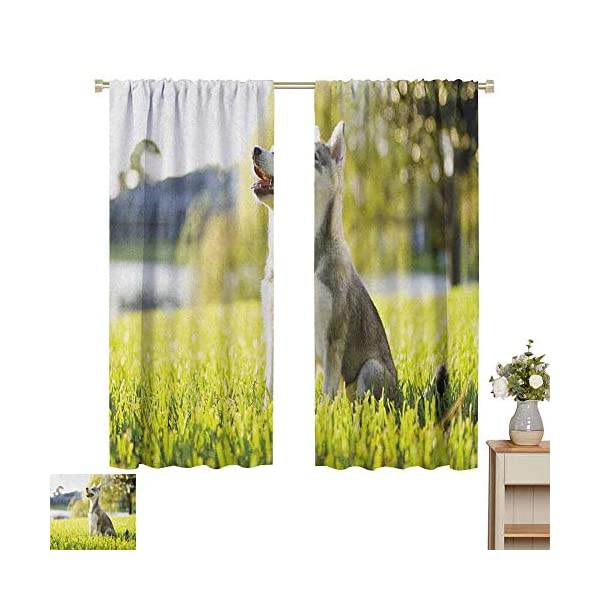 hengshu Alaskan Malamute Eclipse Blackout Curtains Klee Kai Puppy Sitting on Grass Looking Up Friendly Young Cute Animal Patio Door Curtains Living Room Decor W62 x L72 Inch Multicolor 2