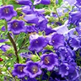 Outsidepride Canterbury Bells Blue - 5000 Seeds