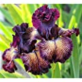 Elegant DramaQueen Iris Bulbs Bearded Iris Seeds Garden Plants Multiply Rapidly Iris Bulbs Home Balcony Bonsai Easy to Grow