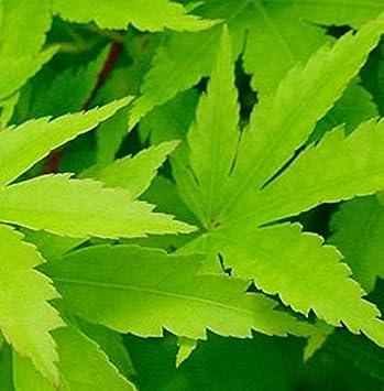 Acer palmatum Japanischer Ahorn Sango Kaku 40-60cm